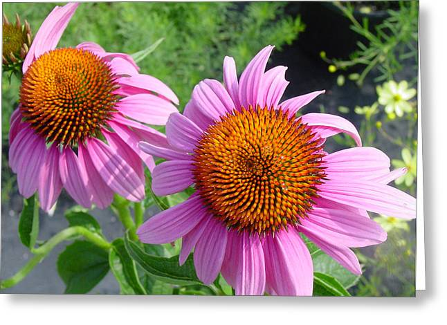 Purple Coneflowers Greeting Card by Suzanne Gaff