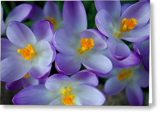 Purple Crocus Gems Greeting Card by Tikvah's Hope