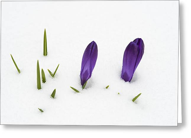 Purple Crocus In The White Snow - Spring Meets Winter Greeting Card by Matthias Hauser