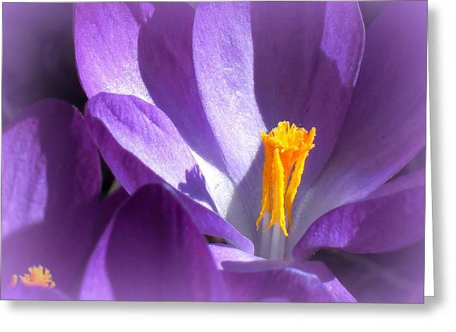 Purple Crocuses Before Spring Greeting Card