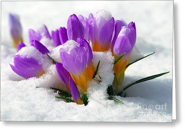 Purple Crocuses In The Snow Greeting Card by Sharon Talson