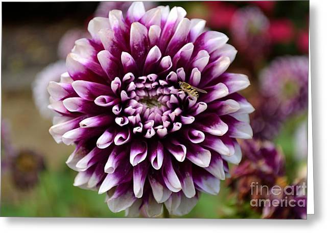 Purple Dahlia White Tips Greeting Card
