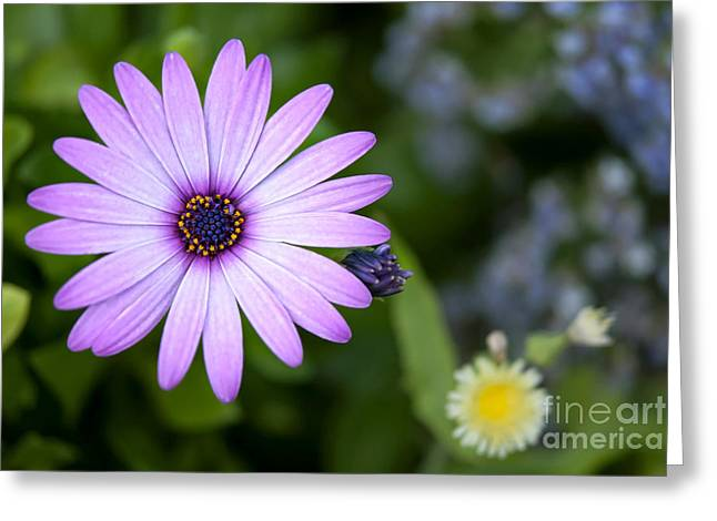 Purple Daisy Greeting Card by Design Windmill