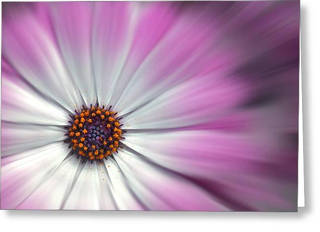 Purple Daisy Greeting Card by Nina Bradica