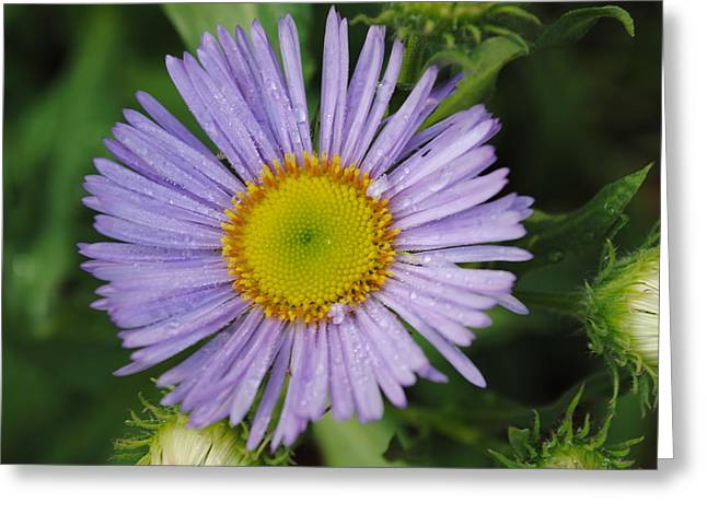 Greeting Card featuring the photograph Purple Daisy by Robert  Moss
