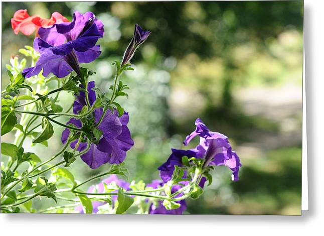 Purple Delight. Petunia Bloom Greeting Card