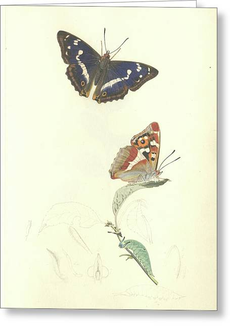 Purple Emperor Butterfly Greeting Card by Natural History Museum, London/science Photo Library