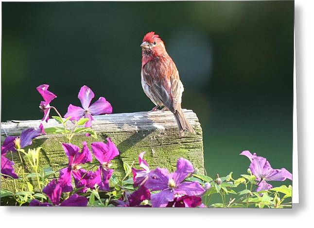 Purple Finch By Clematis Greeting Card
