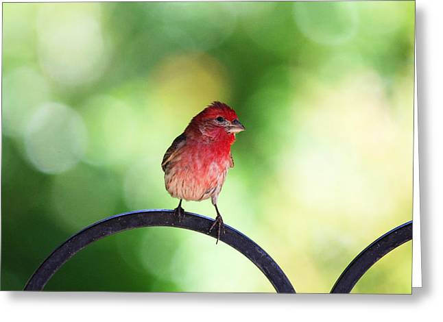 Greeting Card featuring the photograph Purple Finch by Trina  Ansel