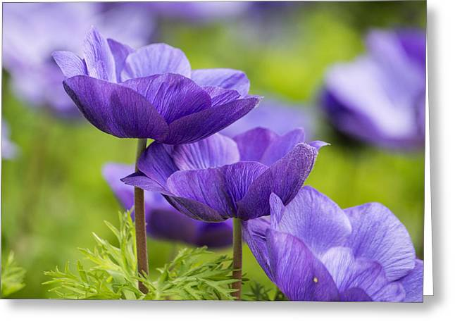 Purple Flowers Greeting Card by Jon Woodhams