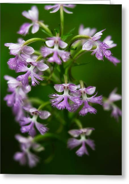 Purple Fringed Orchid Greeting Card