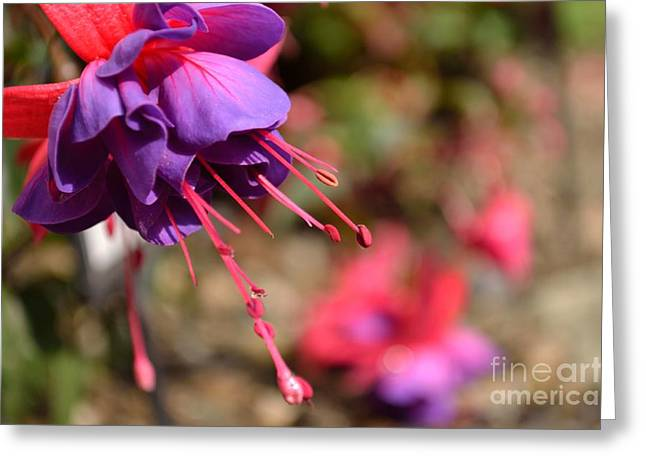 Purple Fuchsia Greeting Card by Scott Lyons
