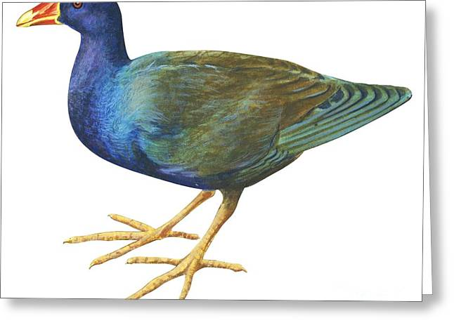 Purple Gallinule Greeting Card by Anonymous