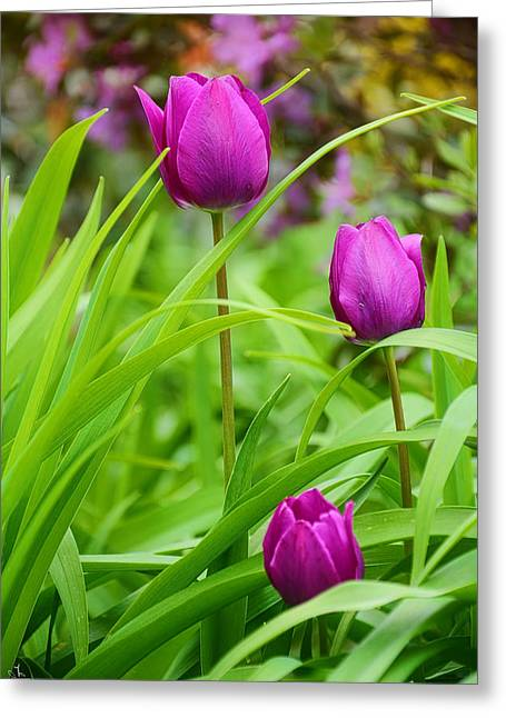 Purple Gems- Purple Tulips Rhode Island Tulips Purple Flower Greeting Card by Lourry Legarde