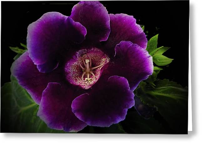 Purple Gloxinia   Greeting Card