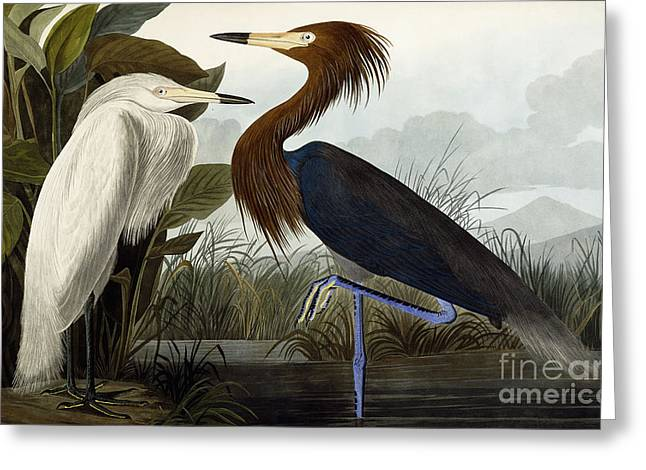 Purple Heron Greeting Card by John James Audubon