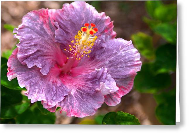Purple Hibiscus Greeting Card by Brian Harig
