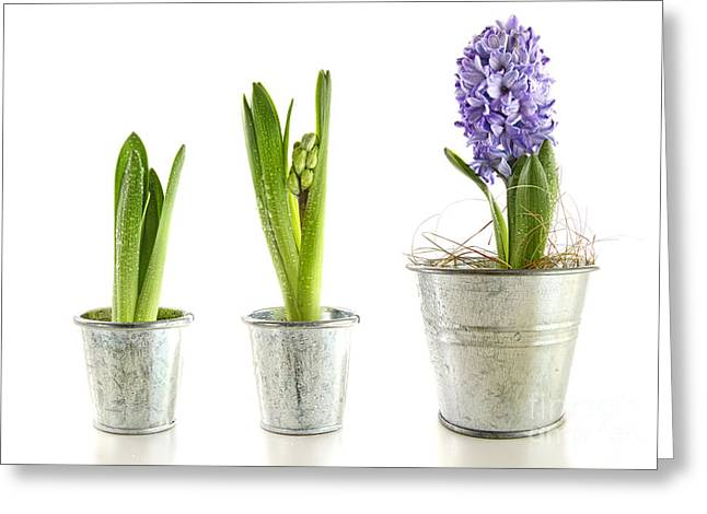 Purple Hyacinth In Garden Pots On White Greeting Card by Sandra Cunningham