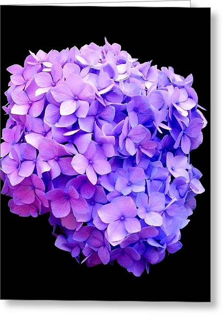 'purple Hydrangea Bloom'  Greeting Card
