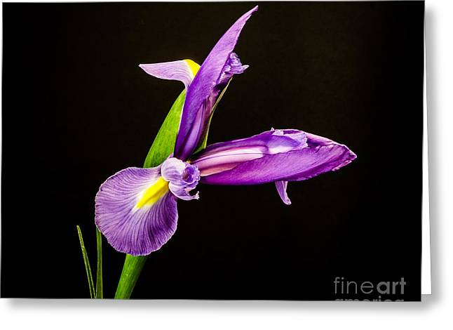 Purple Iris 2 Greeting Card by Mitch Shindelbower