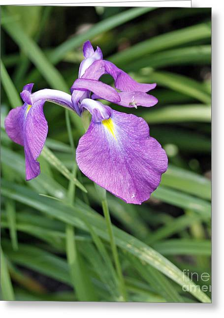 Purple Iris Greeting Card by Denise Pohl