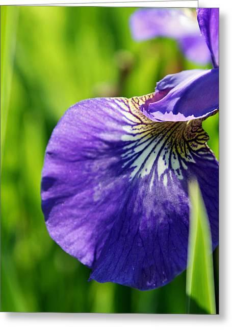 Purple Iris Greeting Card by Jamie McBride