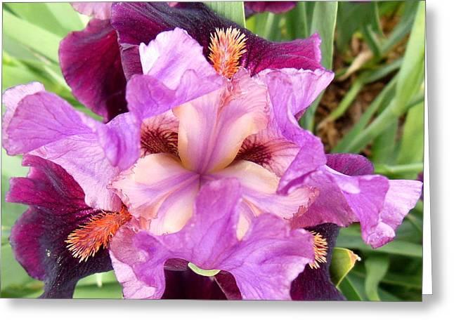 Purple Iris Greeting Card by Virginia Forbes
