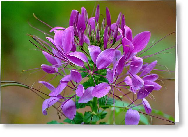 Greeting Card featuring the photograph Purple Lilly by Jodi Terracina