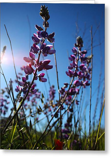 Greeting Card featuring the photograph Purple Lupine by Richard Stephen