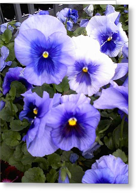Greeting Card featuring the photograph Purple Morning Glory by Fortunate Findings Shirley Dickerson