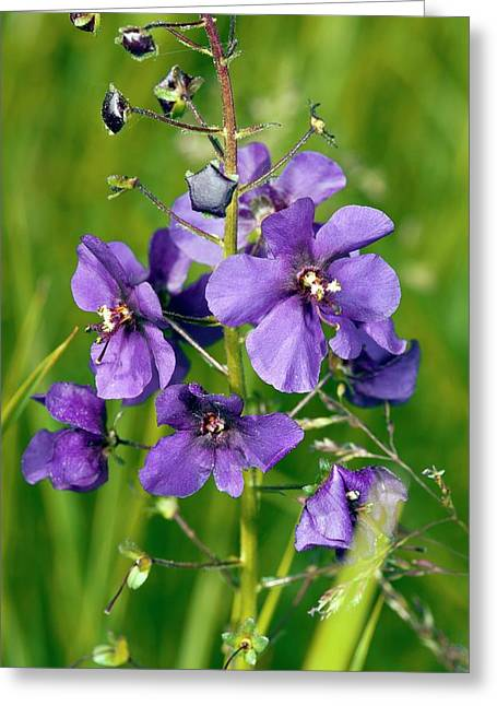 Purple Mullein (verbascum Phoeniceum) Greeting Card by Bob Gibbons