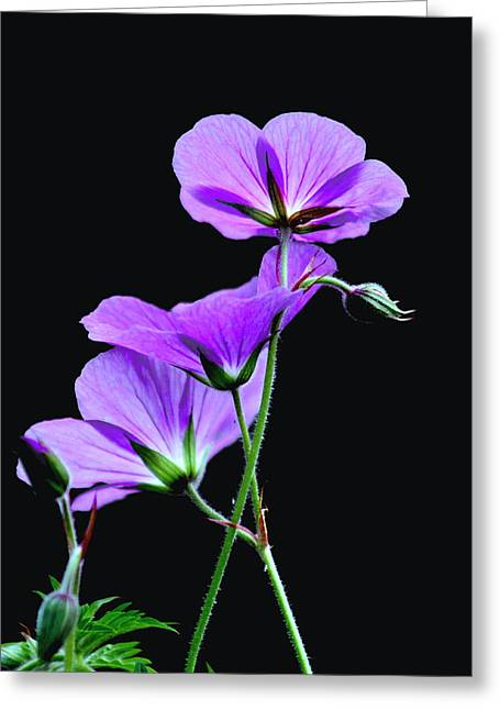 Purple On Black Greeting Card