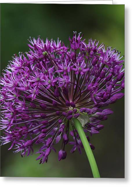 Greeting Card featuring the photograph Purple Onion by Bill Woodstock
