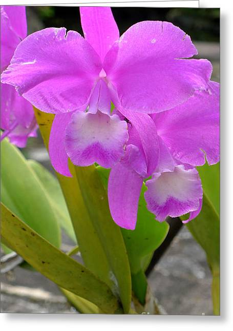 Purple Orchid Greeting Card by Mukta Gupta