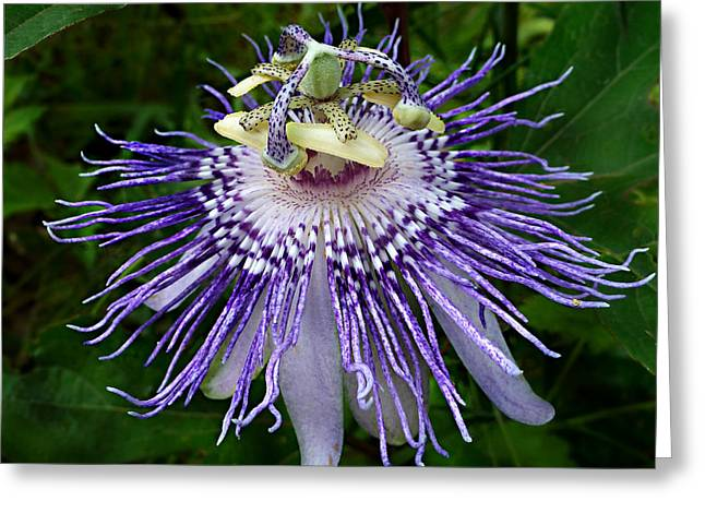 Greeting Card featuring the photograph Purple Passionflower by William Tanneberger