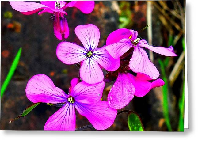 Purple Lunaria Greeting Card