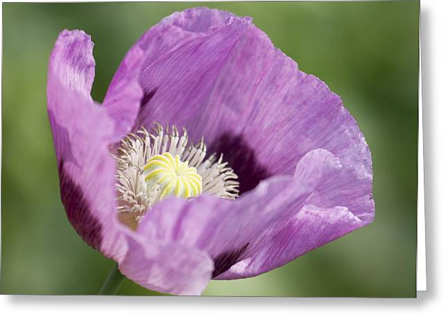Purple Poppy Greeting Card