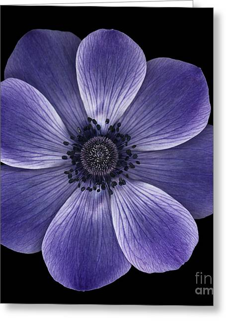Purple Poppy Greeting Card by Oscar Gutierrez