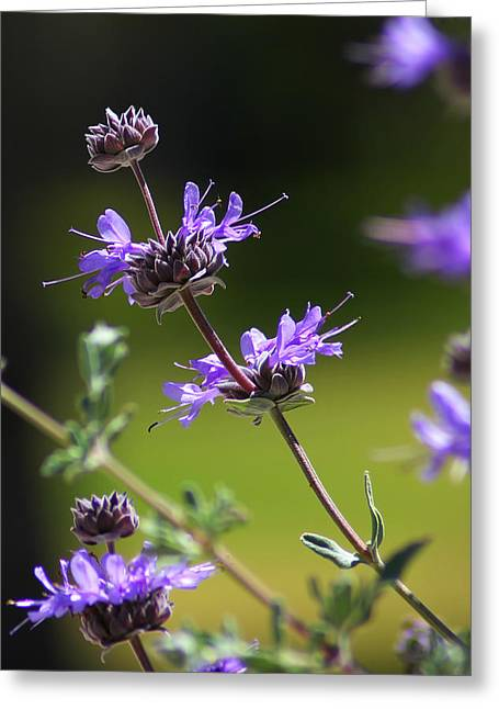 Purple Sage Greeting Card by Richard Stephen