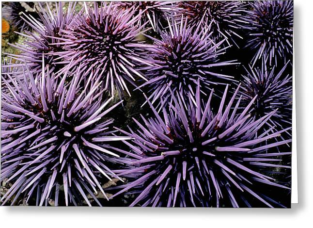 Purple Sea Urchins Greeting Card by Jeff Rotman