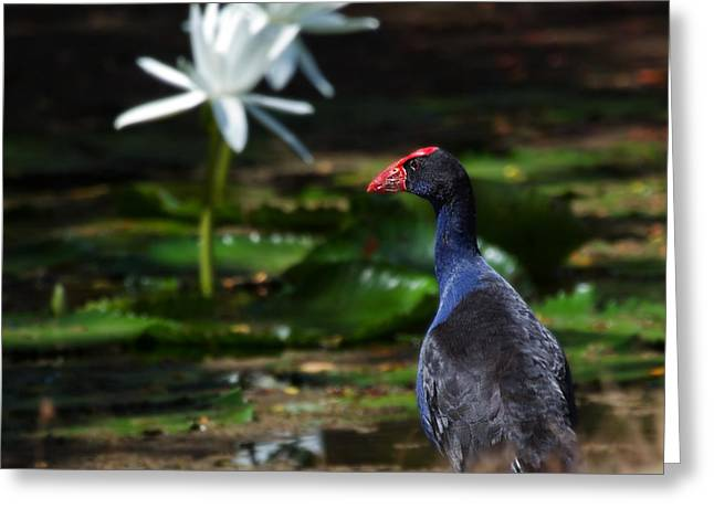 Purple Swamphen Admiring The Water Lilies Greeting Card by Mr Bennett Kent