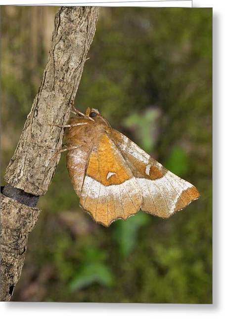 Purple Thorn Moth Greeting Card by David Aubrey/science Photo Library
