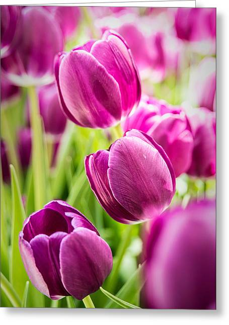 Purple Tulip Garden Greeting Card