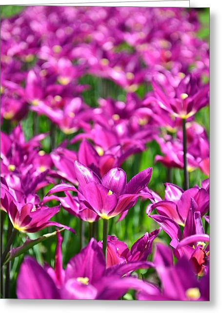 Purple Tulips Greeting Card by Gynt
