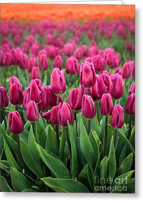 Purple Tulips Greeting Card by Inge Johnsson