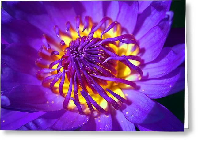 Purple Water Lily Macro Greeting Card by Kaleidoscopik Photography