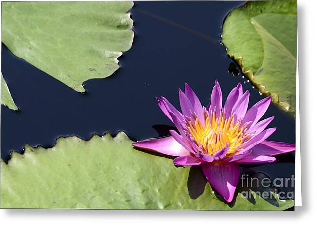 Purple Waterlilly Greeting Card