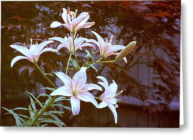 Purple/white Lily Greeting Card