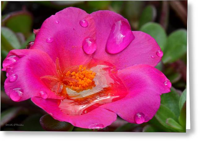 Purslane Flower In The Rain Greeting Card by Sandi OReilly