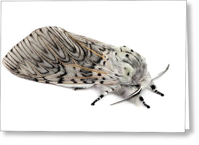 Puss Moth Greeting Card by Alex Hyde